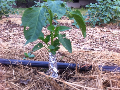 This is a picture of aluminum foil collars for larger plants to protect from cutworms