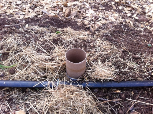 This is a picture of toilet paper tubes to protect seedlings from cutworms