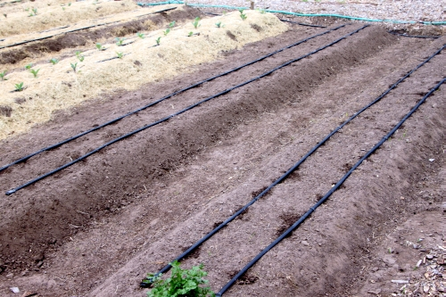Wide rows with drip tape